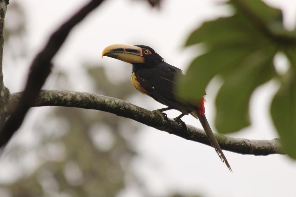 toucan--mindo-ecuador_40884578685_o