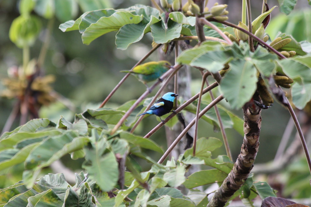 tropical-bird-mindo-ecuador_41742477722_o