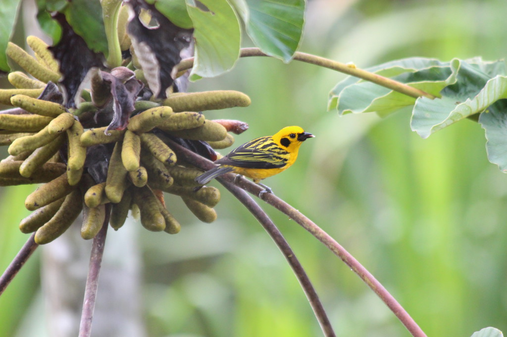 tropical-bird-mindo-ecuador_41742479992_o