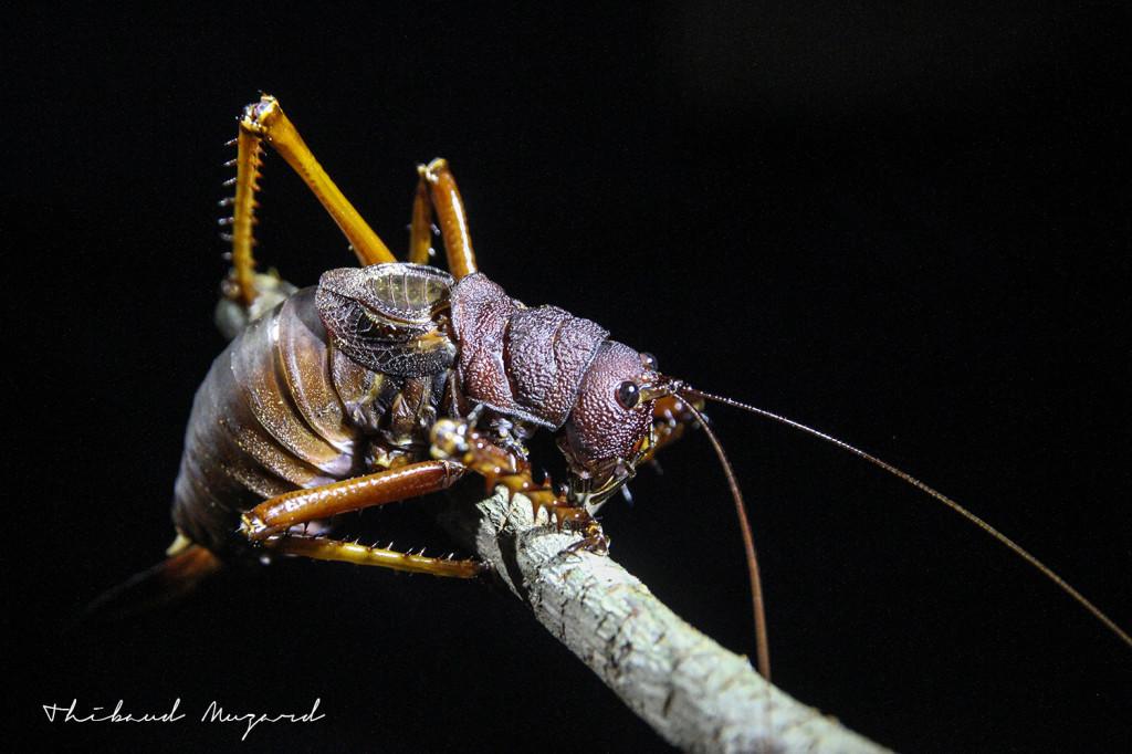Grosse Sauterelle_crevette nocturne