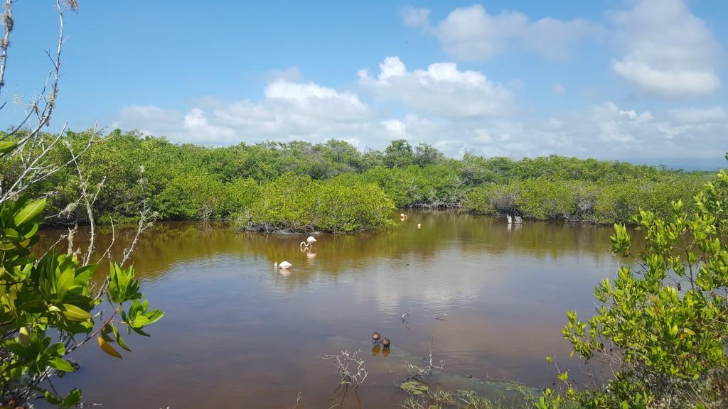 laguna flamand