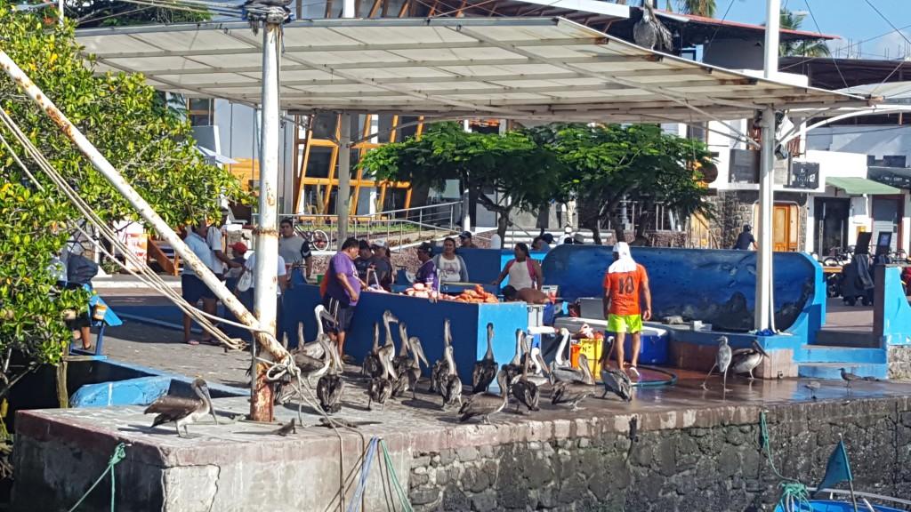 pelicanos isabela