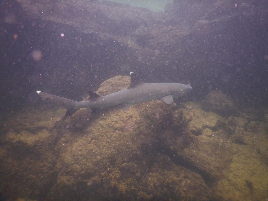 requin tintoreras