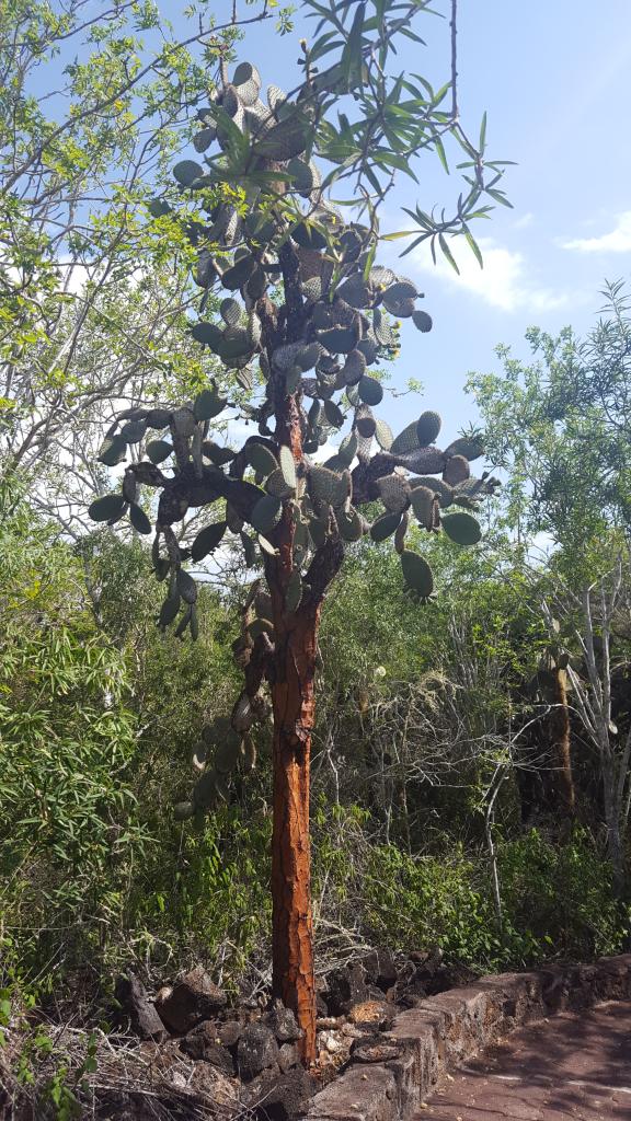 tortuga bay opuntia