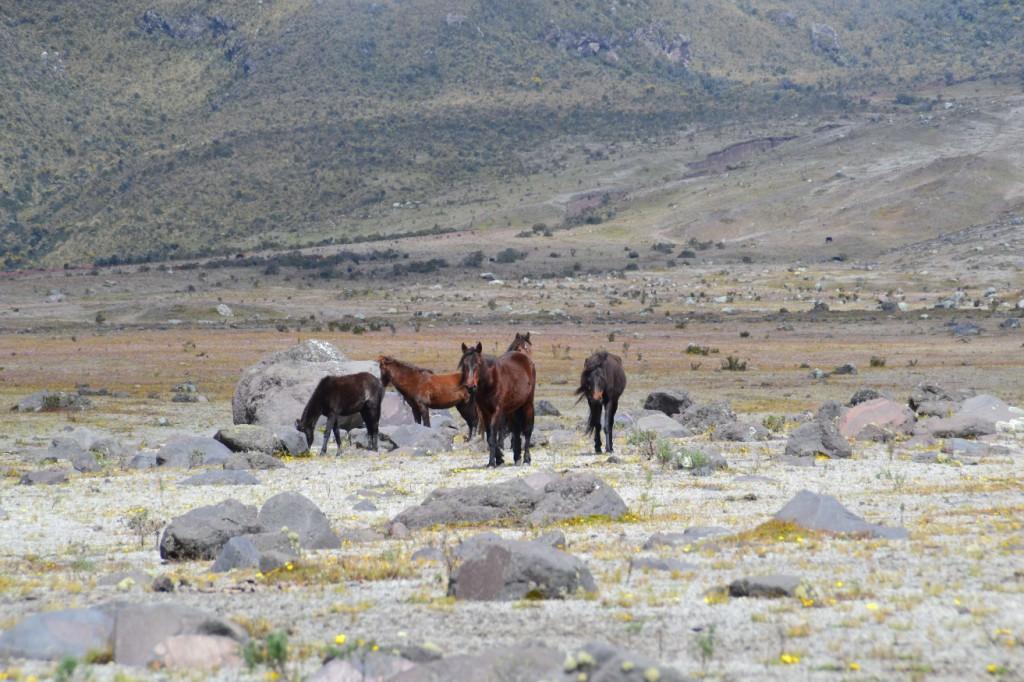 13 chevaux Cotopaxi