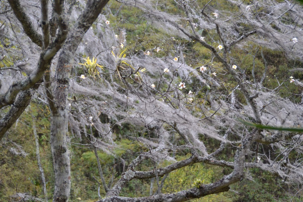 29 Podocarpus