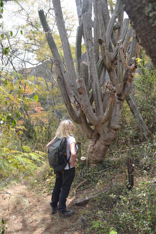 32 Podocarpus