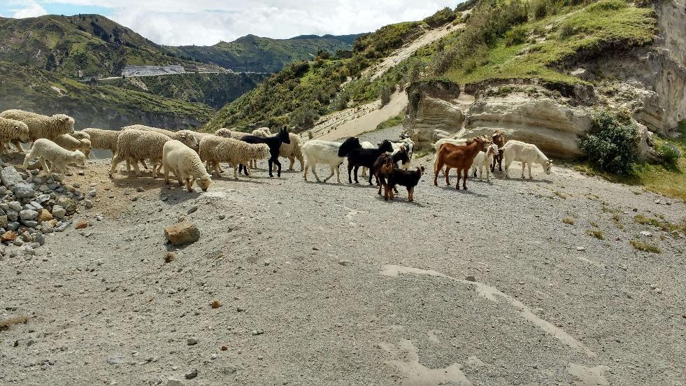 33 troupeau quilotoa