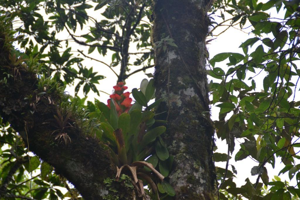 35 Podocarpus