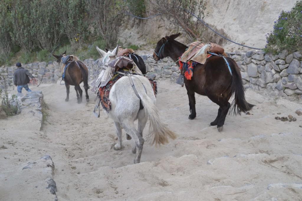 35 mules quilotoa