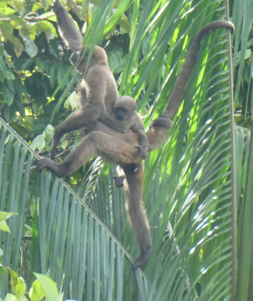 singe laineux